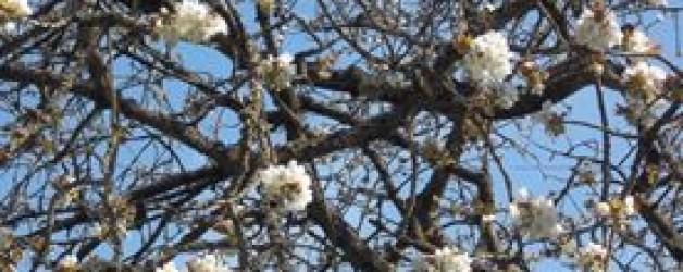 Kirschblüten-Walking